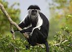 Black and white colobus, Kyambura Gorge, Queen Elizabeth National Park