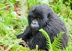 Blackback Gorilla, Volcanoes National Park, Rwanda