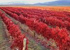 Autumnal vineyards, Mendoza, Argentina