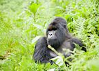 Alpha Silverback, Umubano Group, Volcanoes National Park, Rwanda