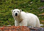 A large male Polar Bear, Svalbard