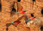 Carmine bee-eater colony in the banks of the Luangwa River