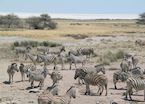 Zebra beside the Etosha Pan