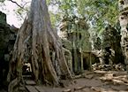 Twisted limbs amongst Ta Prohm, Siem Reap