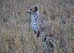 Cheetah at dawn, Serengeti
