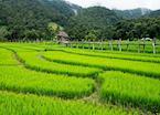 Rice fields near Pai