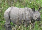 One Horned Rhino calf,  Kaziranga National Park
