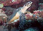 Green Turtle, The Maldives