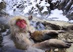 Snow monkeys of Yudanaka