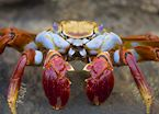A Galapagos Sally Light Foot Crab