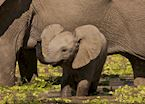 Baby elephant in the Luangwa Valley