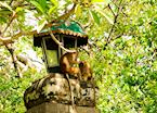 Monkeys at a Buddhist Temple