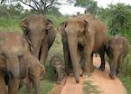 Wild elephants, Uda Walawe National Park