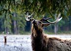 Roosevelt Elk, Redwood National Park