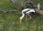 Painted Stork in Yala National Park