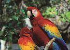 Scarlet Macaws, Copan