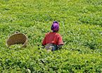 Rwandan tea-picker
