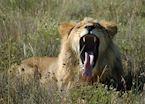 Lion, Eastern Cape
