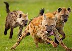 Hyenas, Masai Mara
