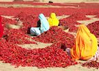 Red chilli peppers drying outside Jaipur, Rajasthan