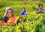 Tea pluckers, Munnar