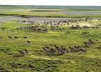 Zebra on the Makgadikgadi Pans in Botswana's Green Season