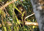 Black Howler Monkey, Lamanai Outpost, Belize