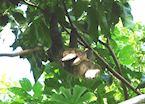 Three-toed sloth, Soberania National Park