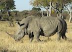 Rhino in Hwange National Park, Zimbabwe