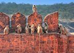Gray Langurs sitting at Ranthambore