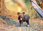 Wild dog puppy yawning, Kwando Concession, Botswana