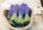 Bunches of lavender, Gordes