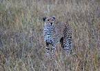 Cheetah, Serengeti