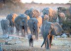 Herd of Elephant, Etosha National Park