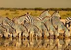 Zebras at a Hwange waterhole, Zimbabwe