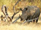 White rhino on Chief's Island