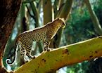 Leopard in a fever tree in the Mara