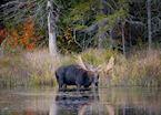 Moose, Algonquin Provincial Park