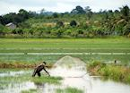 Fishing in the paddy fields, Cambodia