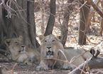 Lions at Gir