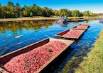 Muskoka's cranberry harvest