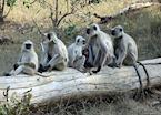 Hanuman Langur, Kanha National Park, India