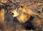 Lion fighting in the Kwando Concession
