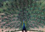 A peacock in Uda Walawe, Sri Lanka