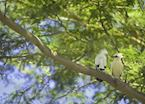 Bali starling, Bali Barat National Park, Indonesia