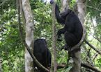 Chimpanzee in the Mahale Mountains