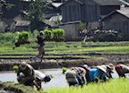 Planting the rice in Laos