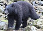 A mother black bear searches for food on the water's edge near Tofino, Canada