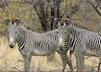 Grevy Zebras in northern Kenya