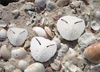 Pansy shells
